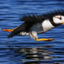 Horned Puffin  - Fine Art