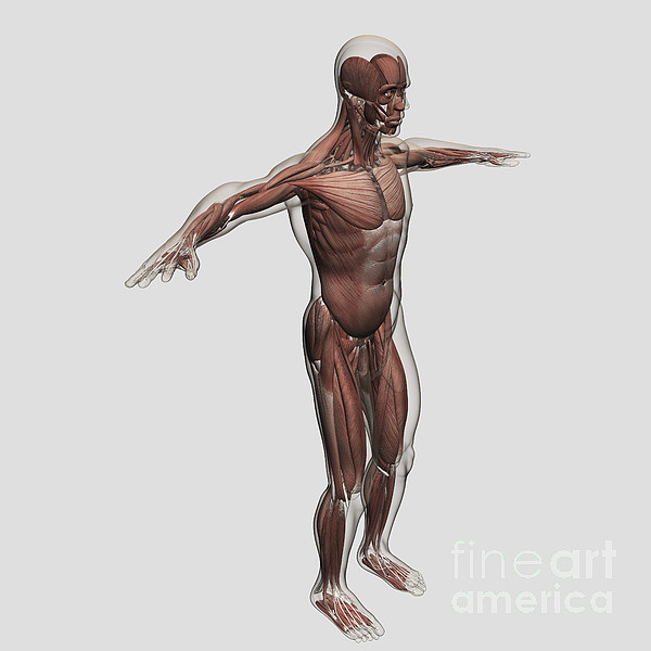 Square Image Digital Art - Anatomy Of Male Muscular System, Side by Stocktrek Images