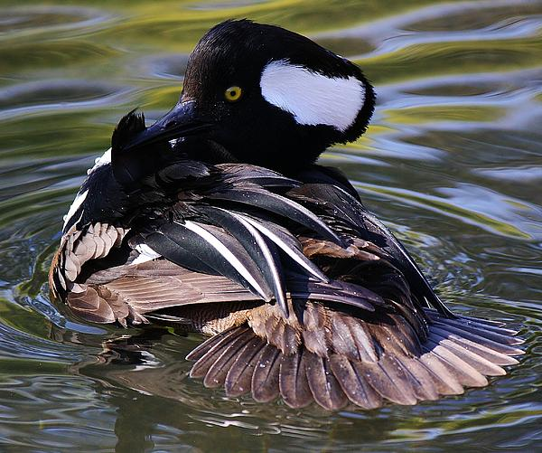 Hooded Merganser Photograph - Duck by Paulette Thomas