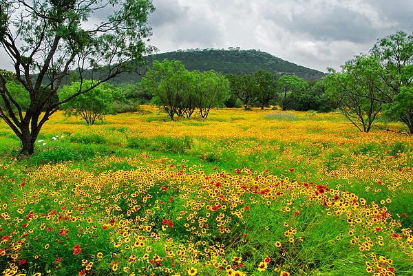 Lynn Bauer - Hill Country Wildflowers