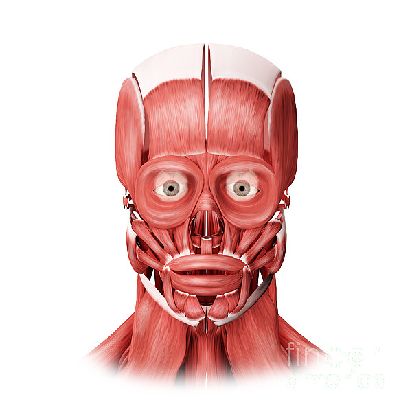 Front View Digital Art - Medical Illustration Of Male Facial by Stocktrek Images