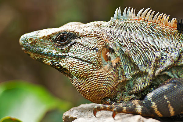 Iguana Mexican Reptiles Color Danger Photo Art Nature Fauna Predators Forest Lizards Rainforest Omnivores Pyrography - Mexican Iguana by Paul Pascal