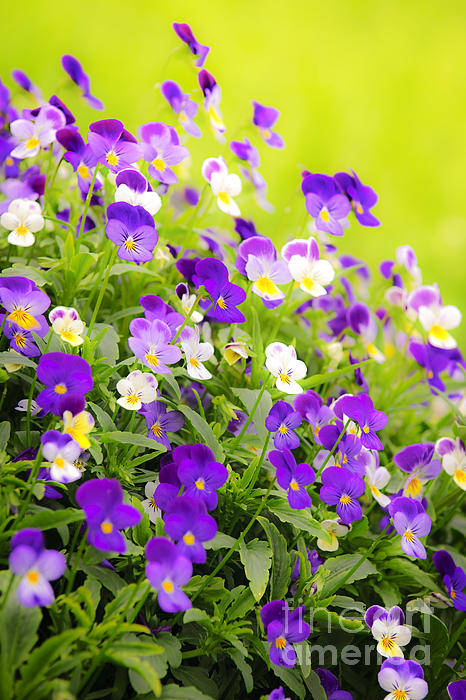Pansies Photograph - Pansies by Elena Elisseeva