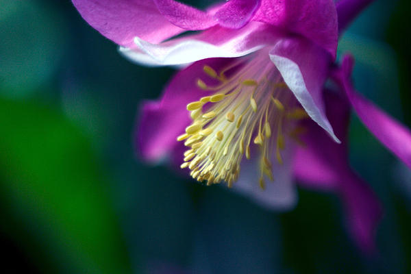 Allergy Photograph - Pink And White Columbine Flower by RM Vera