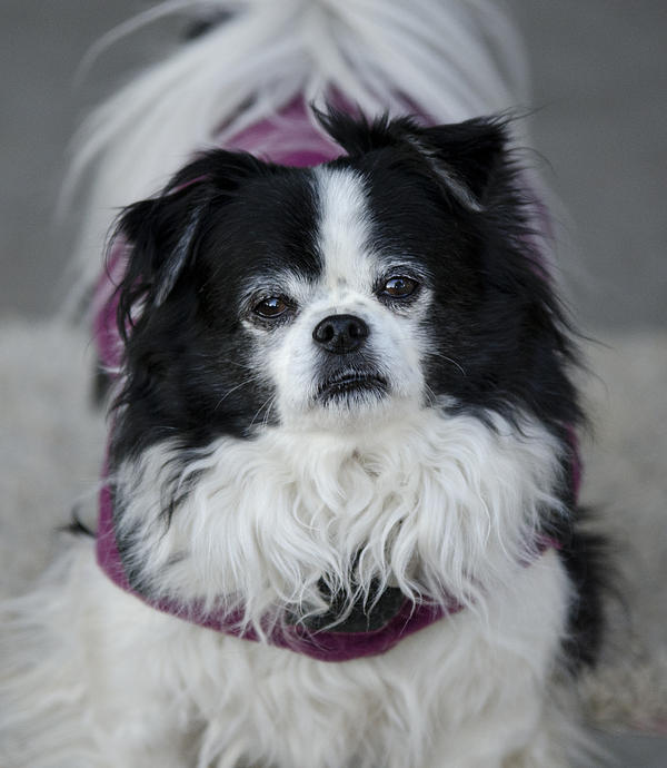 Japanese Chin Photograph - Romeo  by Saija  Lehtonen