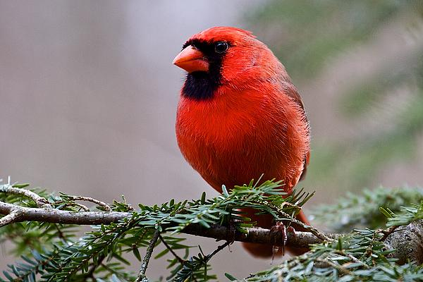 Nature Photograph - Northern Cardinal Male by Dan Ferrin