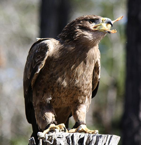 Tawny Eagle Photograph - Bird Of Prey by Paulette Thomas