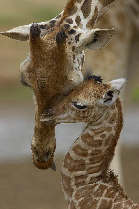 Rothschild Giraffe Photograph