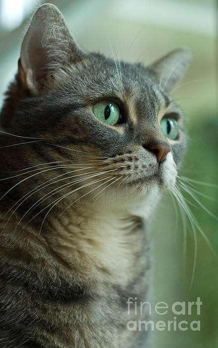 Alert Photograph - American Shorthair Cat Profile by Amy Cicconi
