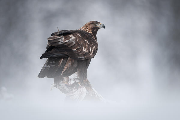 Female Animal Photograph - Golden Eagle by Andy Astbury