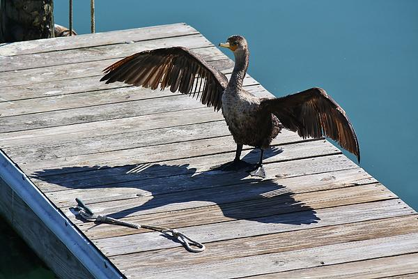 Cormorant Photograph - Me And My Shadow by Paulette Thomas