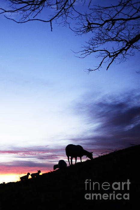 Lamb Photograph - Winter Lambs And Ewes Sunrise by Thomas R Fletcher