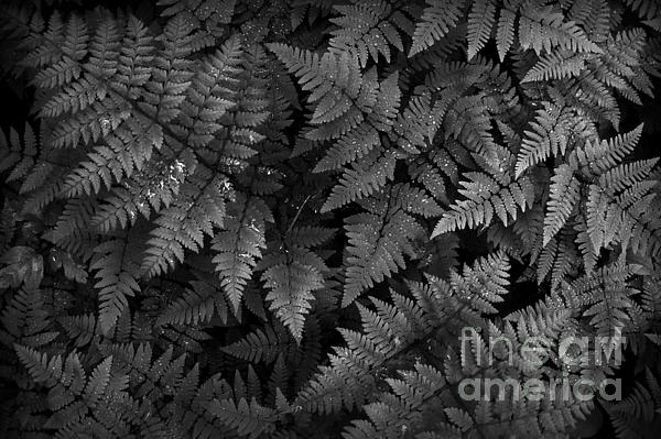Ferns Photograph  - Ferns Fine Art Print