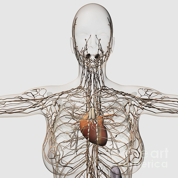 Square Image Digital Art - Medical Illustration Of Female by Stocktrek Images