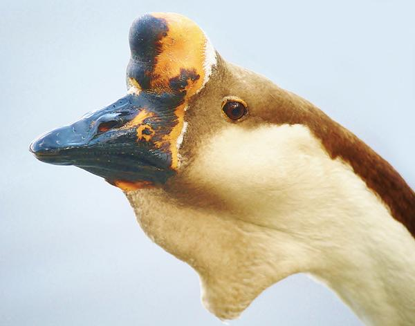Goose Photograph - A Face Only A Mother Could Love by Paulette Thomas