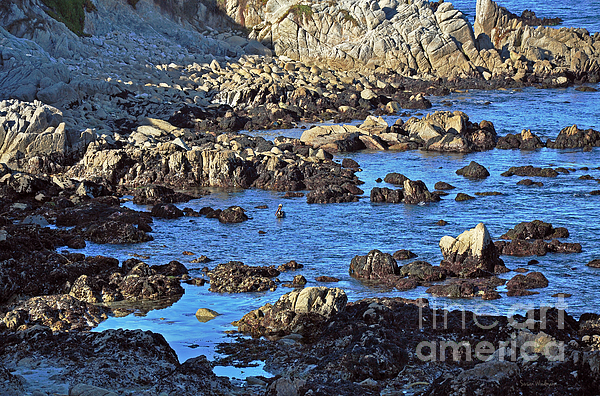 A Pelicans Rocky Retreat Photograph  - A Pelicans Rocky Retreat Fine Art Print