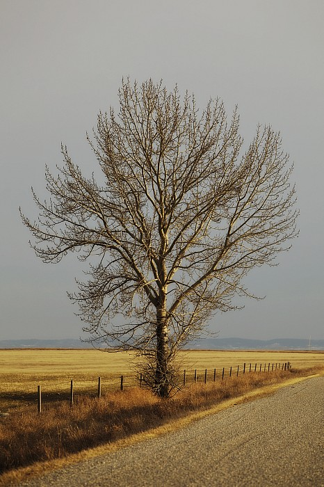 Canada Photograph - A Poplar Tree By The Side Of A Gravel by Roberta Murray
