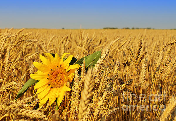 Alone  Photograph - Alone Sunflower Sunflower In Wheat by Boon Mee
