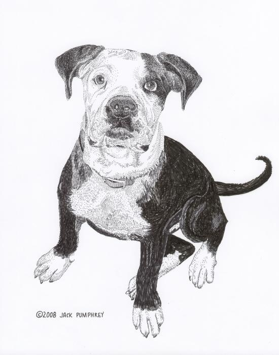 American Bull Dog As A Pup Drawing  - American Bull Dog As A Pup Fine Art Print