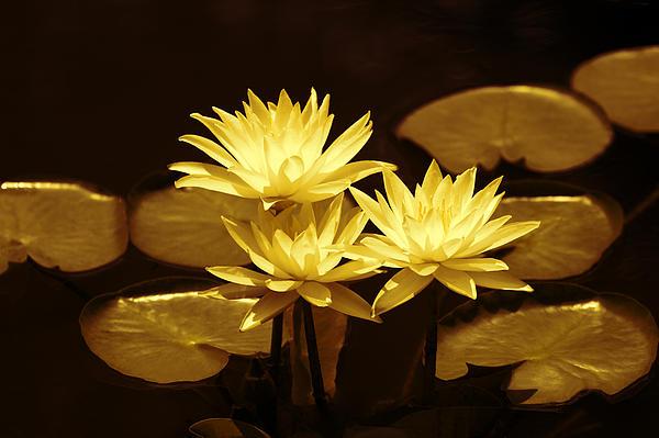 Creative Photograph - Artistic Gold Tone Water Lilies by Linda Phelps