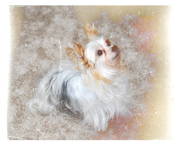 Partyyorkie. Yorkshire Terrier. White Dog. White And Black Dog With Tan. Small Dog. Photography. Digital Art. Canvas. Texture. Print. Greeting Card. Poster. Small Animals. Lap Dog. Photograph - Attentive by Mary Timman