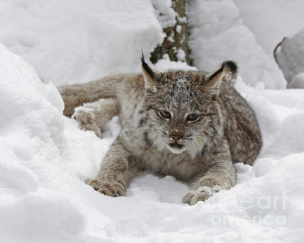 Baby Lynx On A Lazy Winter Day Photograph  - Baby Lynx On A Lazy Winter Day Fine Art Print