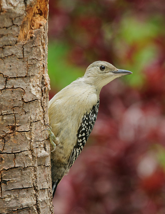 Baby Photograph - Baby Red Bellied Woodpecker by Lara Ellis