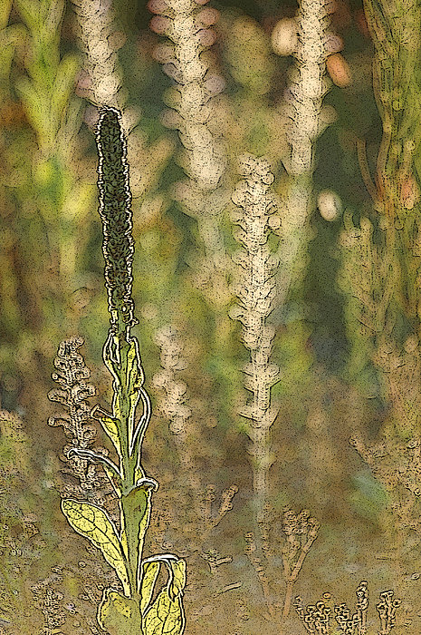 Backlit Mullein in a Meadow