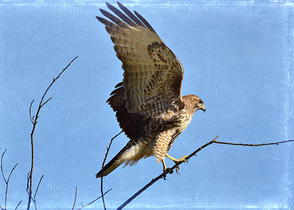 Red Tailed Hawk Photograph - Balancing Act by Fraida Gutovich