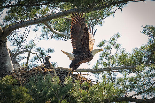 Everet Regal - Bald Eagle with Eaglet