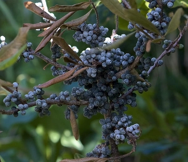 Nature Photograph - Bayberry by Michael Friedman