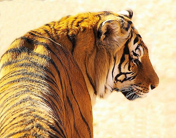 Bengal Tiger In Thought Photograph  - Bengal Tiger In Thought Fine Art Print