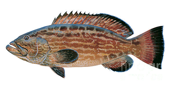 Black Grouper Painting  - Black Grouper Fine Art Print