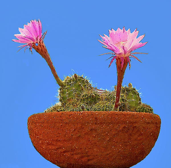 Nadine Johnston - Blooming Beaver Tail Cactus