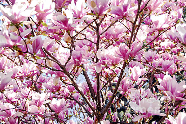 Spring Photograph - Blooming Magnolia by Elena Elisseeva