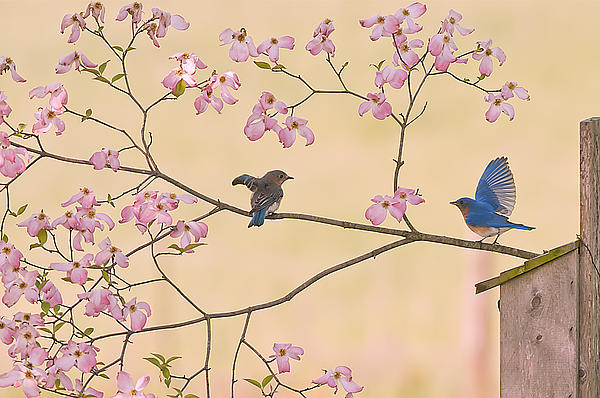 Randall Branham - Bluebird Conversation In Blossoms