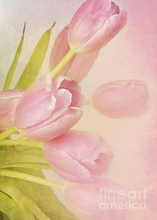 Tulips Photograph - Blushing Beauties by A New Focus Photography