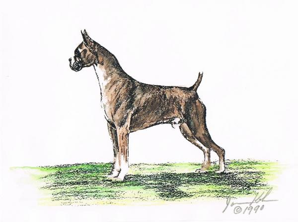 Brindle Boxer Mixed Media  - Brindle Boxer Fine Art Print