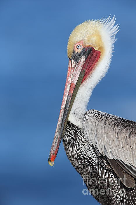 Bryan Keil - Brown pelican head shot