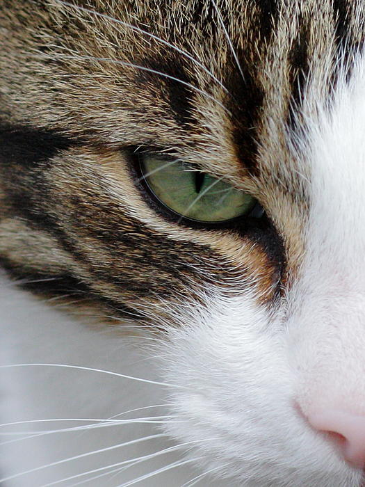 Lynne Dymond - Brown White Tabby Cat Face Close Up