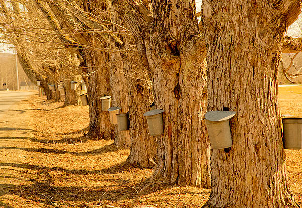 Angelic Maine Maple Syrup Maine Living Country Love Colors Gold Green Brown White Black Silver Metal Buckets Heavenly Hope Rockport Tap Tree Branch Liquid Money Maker In Maine Sky Holes Landscape Spring In Maine Photograph - Buckets Of Gold by Melanie Leo