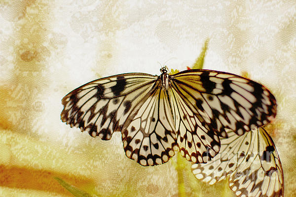 Photography By Floyd Menezes Photograph - Butterflies On Lace by Floyd Menezes