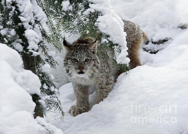 Inspired Nature Photography By Shelley Myke - Canada Lynx Hiding in a Winter Pine Forest