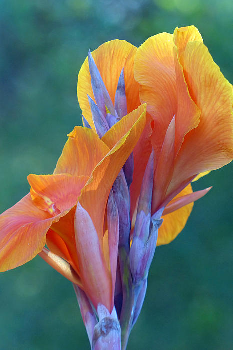 Purple Canna Lily Photographs For Sale