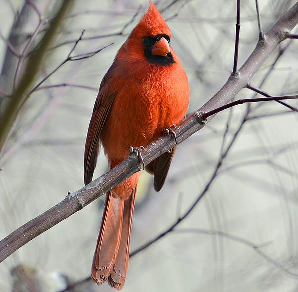 Cardinal.animal Photograph - Cardinal In A Tree by Susan Leggett
