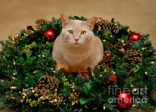 Animal Portrait Photograph - Cat And Christmas Wreath by Amy Cicconi