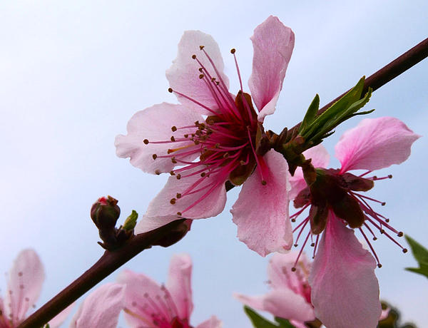 Japanese Cherry Tree Photograph - Cherry Blossom by Camille Lopez