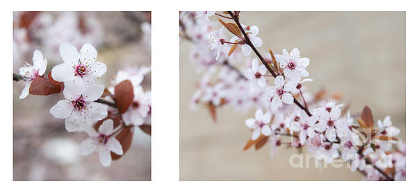 Blossom Photograph - cherry blossom II by Hannes Cmarits