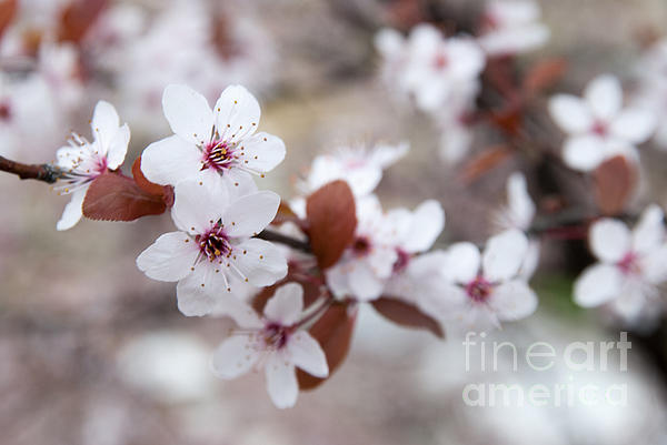 Blossom Photograph - Cherry Blossoms by Hannes Cmarits