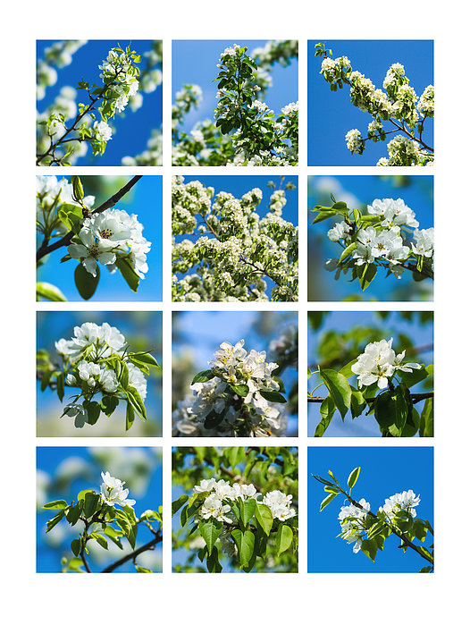 Collage Spring Blossoms 1 Photograph  - Collage Spring Blossoms 1 Fine Art Print